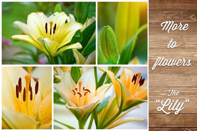 More to flowers: The meaning behind the Lily explained