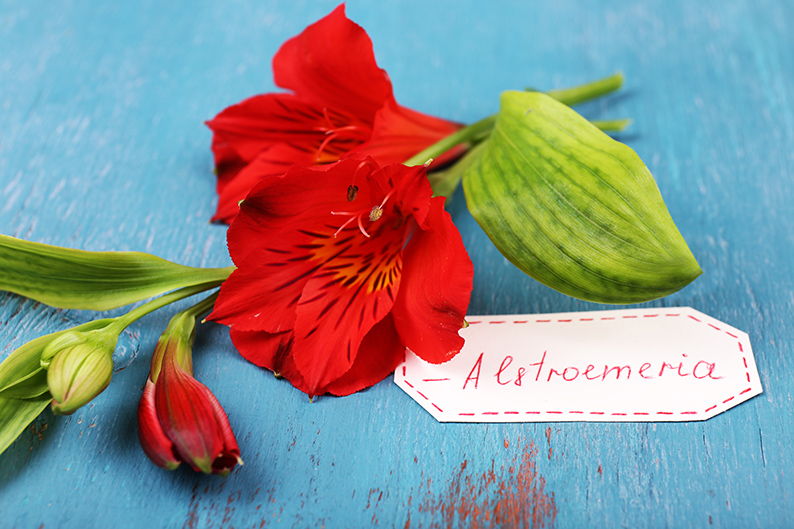 Flower Tidbit: The Alstroemeria's hidden meaning