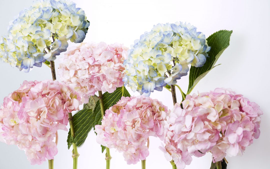 How to: Care Tips for Hydrangea Flowers
