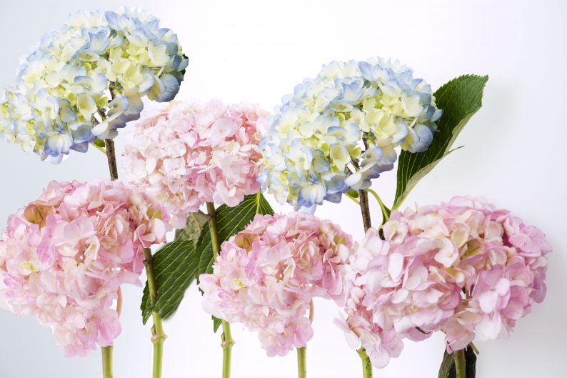 TIPS HOW TO CARE FOR LONE STAR LIVING HYDRANGEA FLOWERS